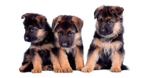 German Shepherd Names for Boys