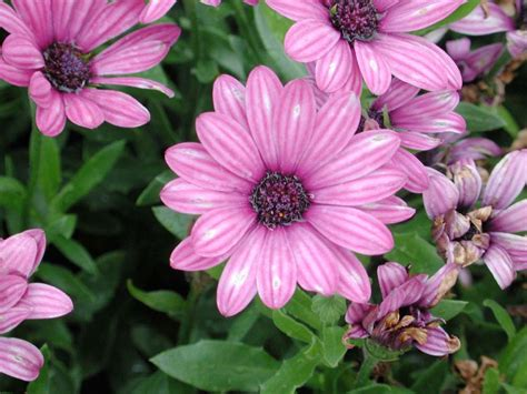 annual flowers osteospermum soprano purple annual flower research at bluegrass lane
