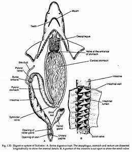 Digestive System Of Scoliodon  With Diagram
