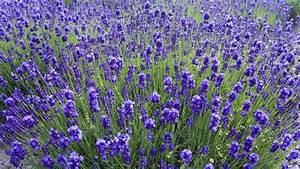 Plant De Lavande : lavande fiche jardinage ~ Nature-et-papiers.com Idées de Décoration