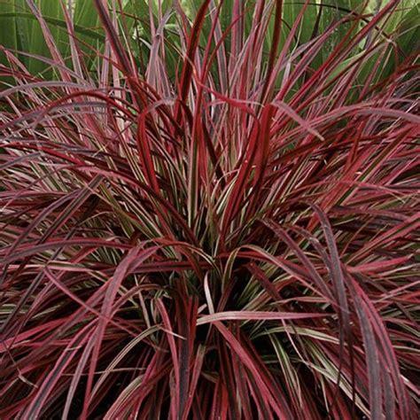 perennial purple grass dwarf red fountain grass home garden types coastal purple red fountain grass