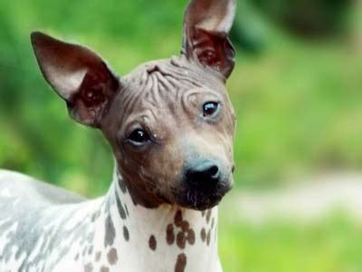 American Hairless Terrier Information Characteristics Facts Names