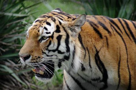 วอลเปเปอร์ : หญ้า, เสือ, สัตว์ป่า, แมวใหญ่, สวนสัตว์, ถิ่น ...