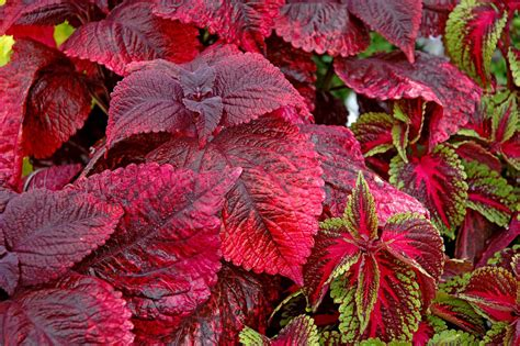 different varieties of coleus search for these top plants in 07 mississippi state university extension service