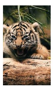 White Tiger Baby Wallpapers HD 1080p - Wallpaper Cave