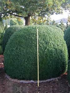 Buchsbaum Schneiden Herbst : g nstig bestellen buchsbaum kugeln buchsbaum buxus ~ Lizthompson.info Haus und Dekorationen