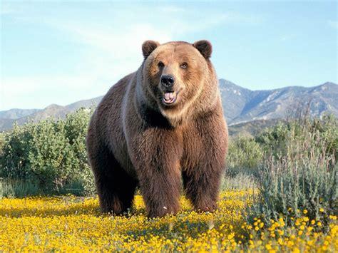 Медведи – фото описание виды ареал рацион враги