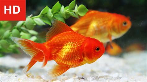 Beauty Of Goldfish