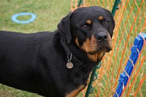 rottweiler fantastic pet care london uk With rottweiler dog training
