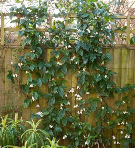 Clematis Urophylla 'winter Beauty'  Winter Bloom