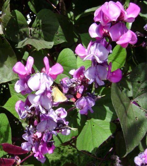 purple flower vine plants hyacinth bean vine hyacinth vine care tropical fast growing vine purple flowering vine