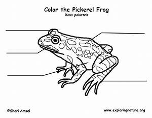 Frog  Pickerel  Labeling Page