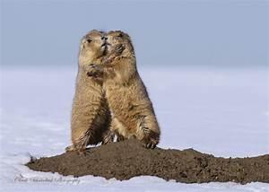 Prairie Dogs Hugging