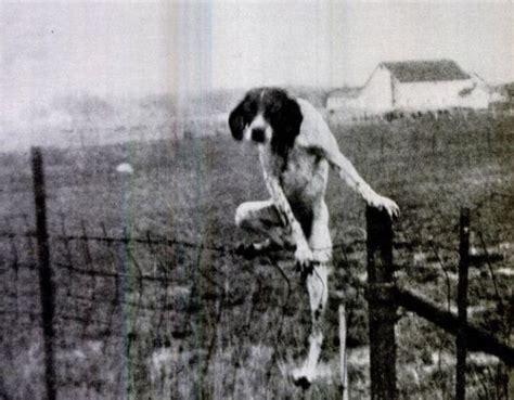 Dog Climbing Fence 1funnycom