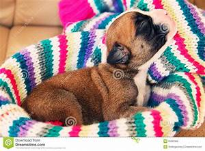 Newborn Boxer Puppy Royalty Free Stock Photo - Image: 20625965