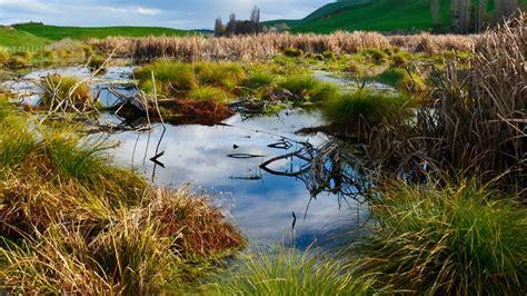 wetlands wetland nz habitats pekapeka nature