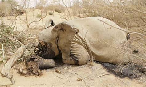 malis desert elephants face extinction africa geographic
