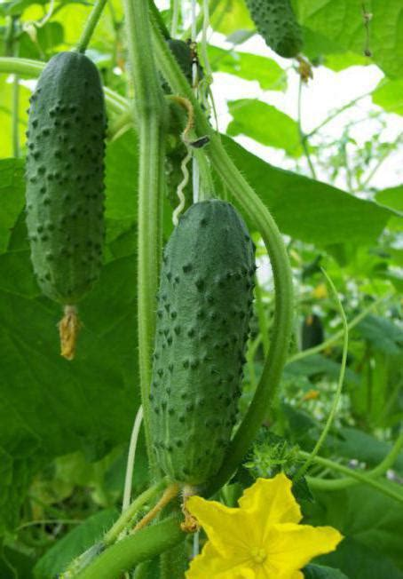 Labas šķirnes gurķiem kodināšanai un konservēšanai: sugas ...