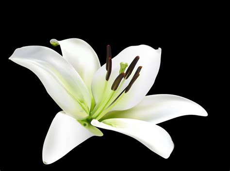 lilly fliwer lily flower google search lily flower pinterest white lilies white lily flower and