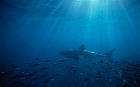 shark wallpapers   desktop backgrounds