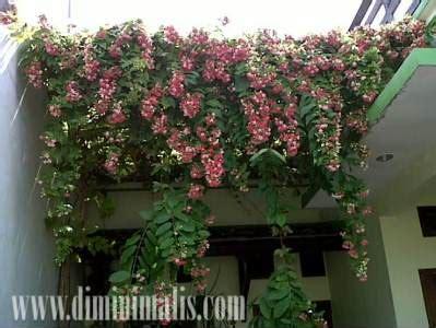 tanaman rambat bisa dijadikan hiasan rumah