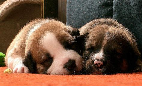 Sleeping Pups I Just Love This P O It Is Probably The S Flickr