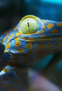 Tokay Gecko Colors