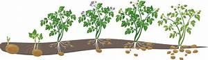 Kürbis Gute Nachbarn : kartoffeln pflanzen lohnt sich ~ Whattoseeinmadrid.com Haus und Dekorationen