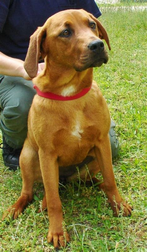 redbone coonhound lab mix  spayed  months named ginger
