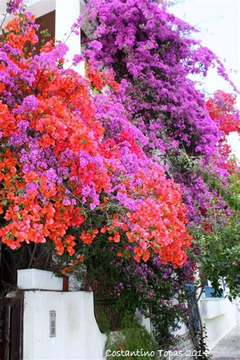 bougainvillea colors best 25 bougainvillea colors ideas on