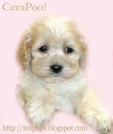 Teacup Cavapoo Puppies