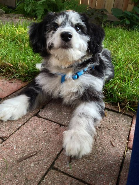 Do Miniature Aussiedoodle Shed by Miniature Aussiedoodles