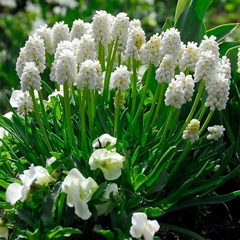 buy grape hyacinth muscari botryoides album delivery by