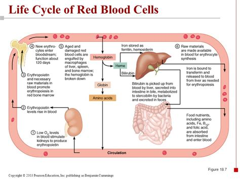 cycle of blood cells diagram 28 images 22 april 2009