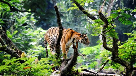 Filebengal Tiger In Jungle1920x1080jpg  Wikimedia Commons