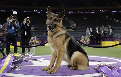 Westminster Dog Kennel Club Shepherd German York
