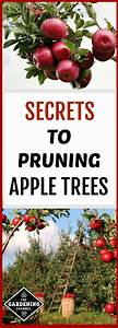 Find Out What You Need To Know To Prune Apple Trees  Here