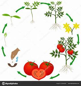 Diagram Of The Life Cycle Of A Tomato Plant