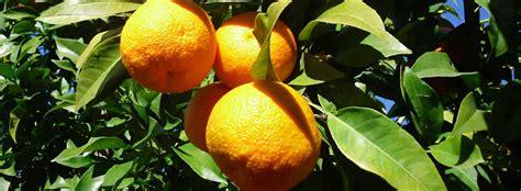 oranges yuens fruit  vegetables specialists