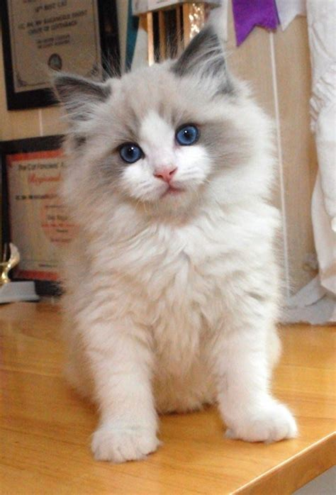 20 Most Affectionate Cat Breeds In The World Cat