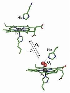 Oxygen Bound Myoglobin