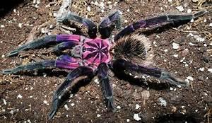 purple bloom tarantula - Google Search | Animals ~ Insecta ...
