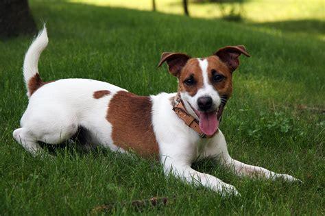 Berkasjack Russell Terrier  Jpg Bahasa