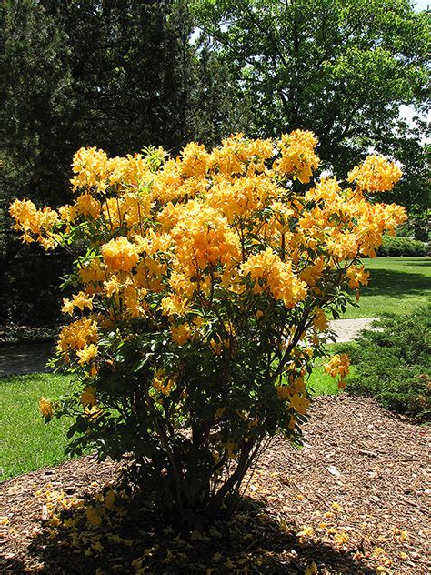 Golden Lights Azalea golden lights azalea rhododendron golden lights in