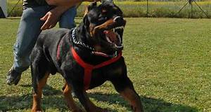 Top 5 guard dog breeds for Rottweiler guard dog training