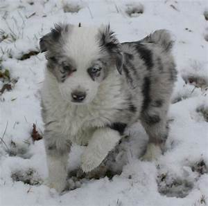 Australian Shepherd Black And White Puppy 72560 | SOFTHOUSE