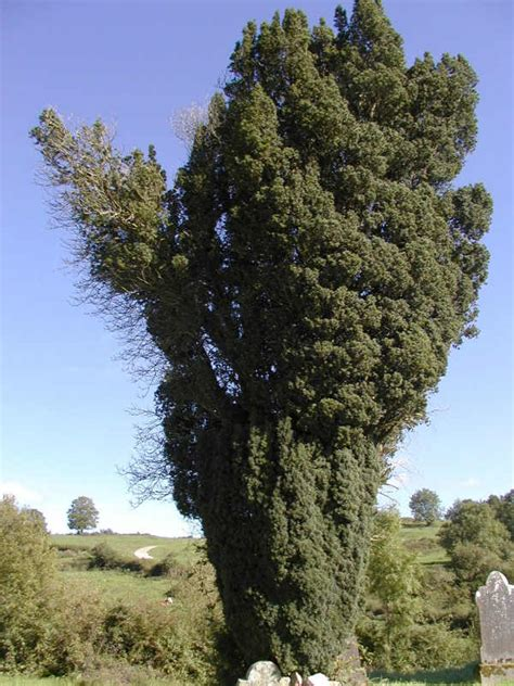 pictures of yew trees yew tree facts
