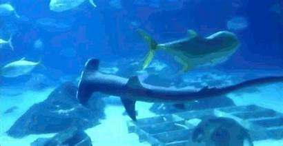 Sharks Shark Hammerhead Swimming Sideways Many Sharp