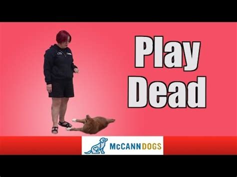 how to teach your to play dead teach your dog how to play dead akc trick dog funnydog tv