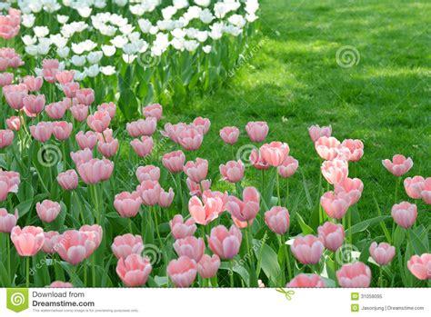 tulip flower garden free stock tulip garden royalty free stock photo image 31058095